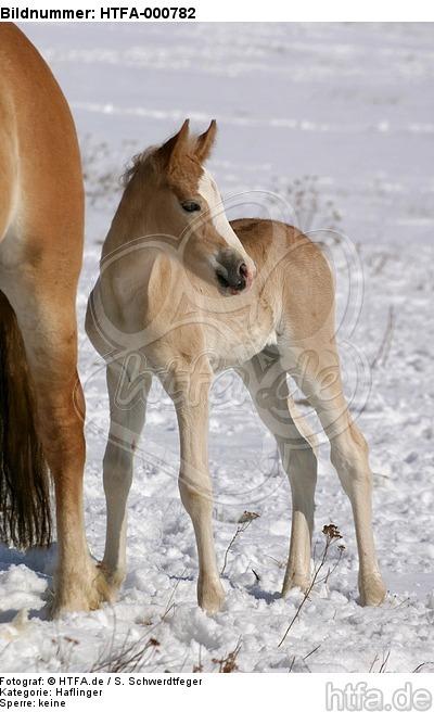 Haflinger Fohlen / haflinger horse foal / HTFA-000782