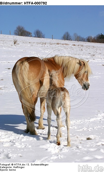 Haflinger / haflinger horses / HTFA-000792
