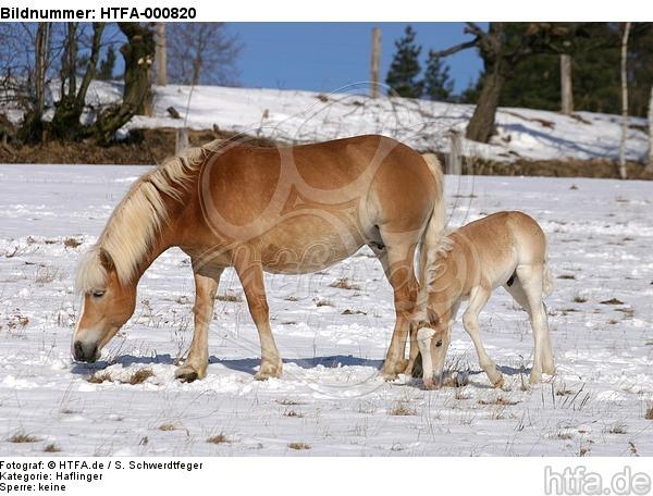 Haflinger / haflinger horse / HTFA-000820