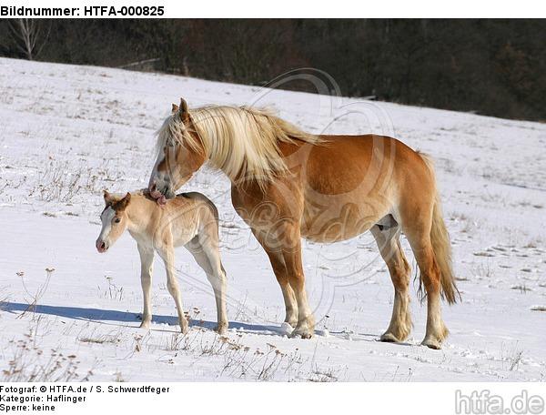 Haflinger / haflinger horses / HTFA-000825