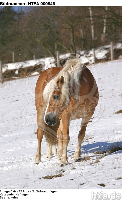 Haflinger / haflinger horse / HTFA-000848