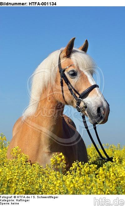 Haflinger Portrait / haflinger horse portrait / HTFA-001134