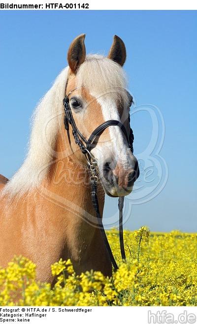 Haflinger Portrait / haflinger horse portrait / HTFA-001142