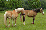 Haflinger und Deutsches Reitpony / haflinger horse and pony