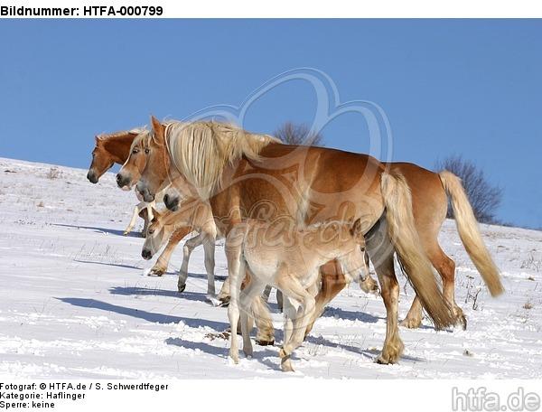 Haflinger / haflinger horses / HTFA-000799