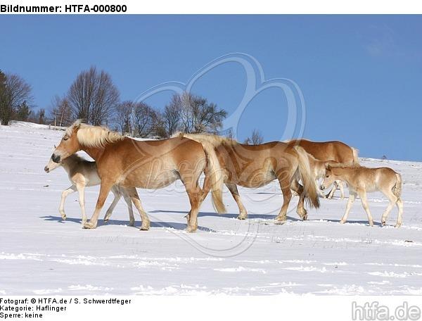 Haflinger / haflinger horses / HTFA-000800