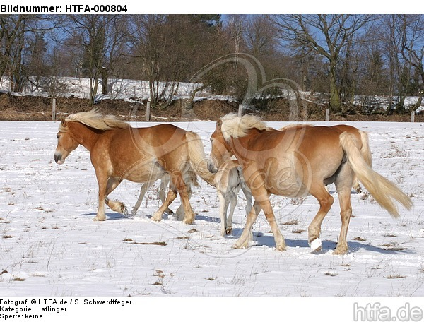 Haflinger / haflinger horses / HTFA-000804