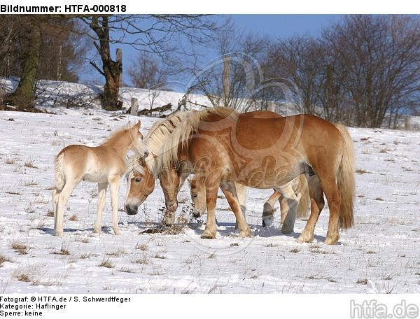 Haflinger / haflinger horses / HTFA-000818