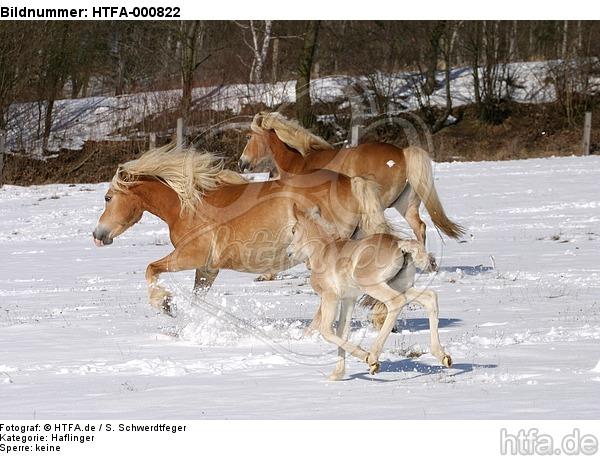 trabende Haflinger / trotting haflinger horses / HTFA-000822
