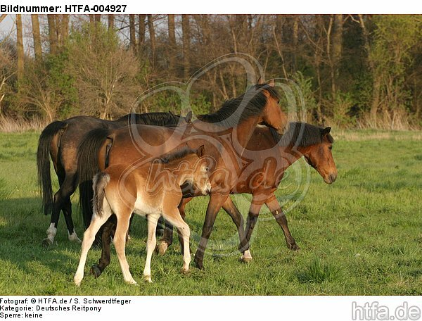Pferdeherde / herd / HTFA-004927