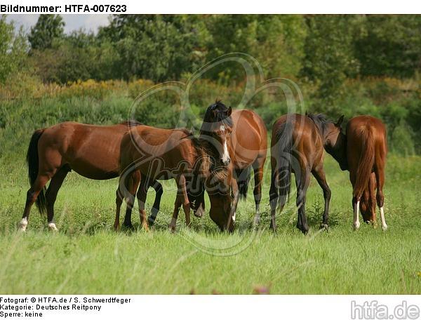 Deutsche Reitpony Hengste / pony stallions / HTFA-007623