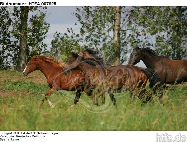 Deutsche Reitpony Hengste / pony stallions / HTFA-007625