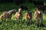 Haflinger und Kaltbl�ter / haflinger horses and coldbloods