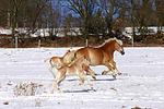galoppierende Haflinger / galloping haflinger horses