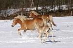 trabende Haflinger / trotting haflinger horses