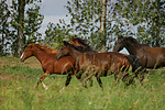 Deutsche Reitpony Hengste / pony stallions