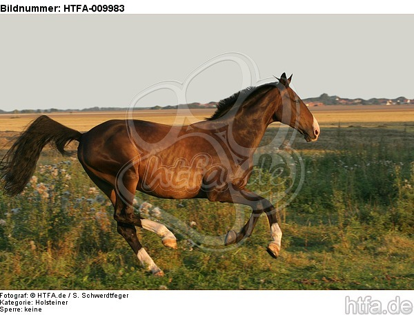 galoppierender Holsteiner / galloping Holsteiner / HTFA-009983