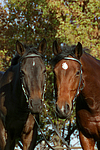 Russisches Vollblut und Holsteiner / russian thoroughbred and holsteiner horse