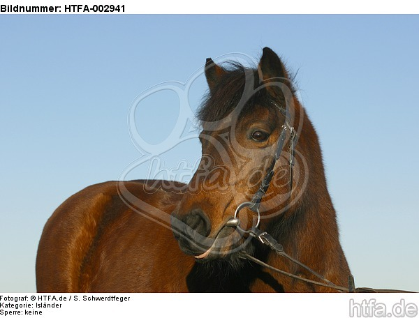 Isl�nder / icelandic horse / HTFA-002941