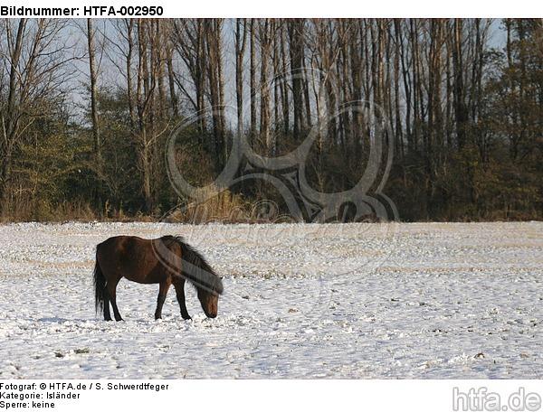 Isl�nder / icelandic horse / HTFA-002950