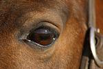 Isl�nder Auge / icelandic horse eye