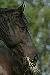 fressender Friese / eating friesian horse