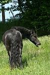 fressender Friese / grazing friesian horse