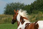 Pinto Hengst / pinto stallion