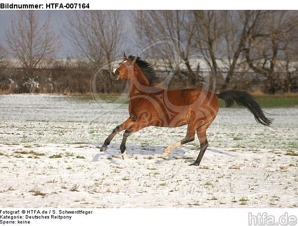 Deutsches Reitpony / pony / HTFA-007164