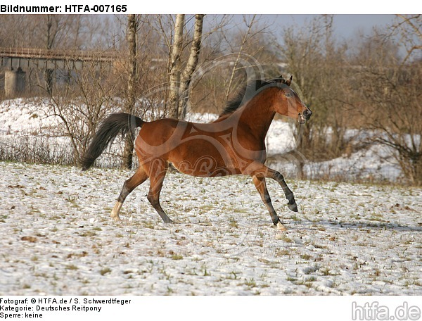 Deutsches Reitpony / pony / HTFA-007165