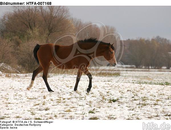 Deutsches Reitpony / pony / HTFA-007168