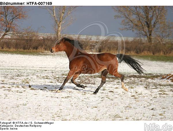 Deutsches Reitpony / pony / HTFA-007169