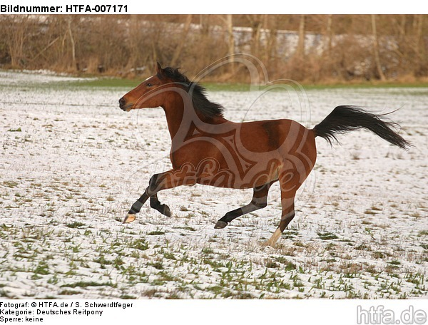 Deutsches Reitpony / pony / HTFA-007171