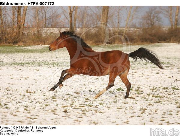 Deutsches Reitpony / pony / HTFA-007172