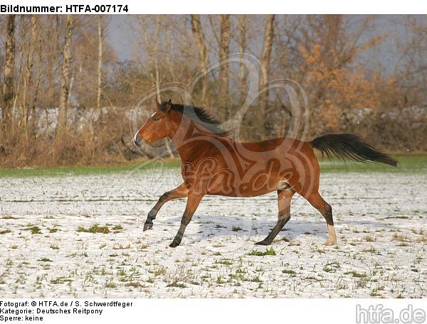 Deutsches Reitpony / pony / HTFA-007174