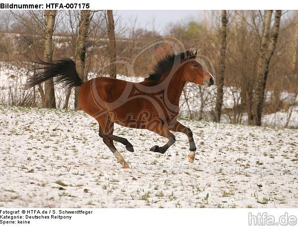 Deutsches Reitpony / pony / HTFA-007175