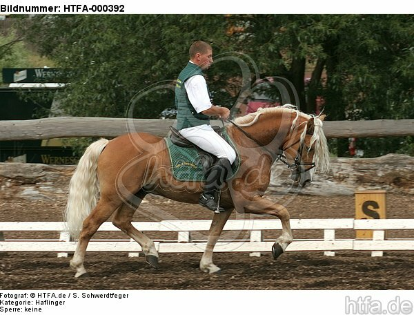 Mann reitet Haflinger / man rides haflinger horse / HTFA-000392