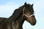 Rheinisch Deutscher Kaltblut Hengst / coldblood stallion