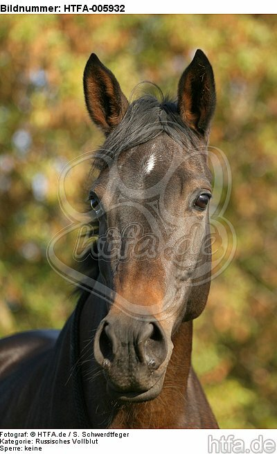 Russisches Vollblut / russian thoroughbred / HTFA-005932