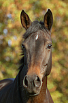Russisches Vollblut / russian thoroughbred