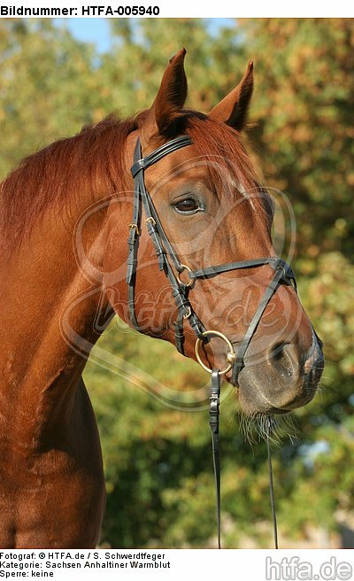 Sachsen Anhaltiner Warmblut / horse / HTFA-005940