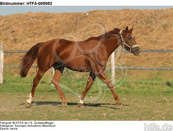 Sachsen Anhaltiner Warmblut / horse / HTFA-005953
