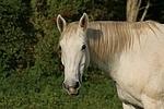 Sachsen Anhaltiner / horse