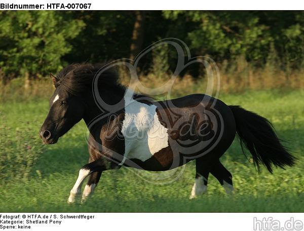 Shetland Pony / HTFA-007067