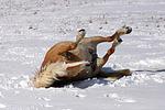 Haflinger w�lzt sich / rolling haflinger horse