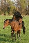 Deutsches Reitponies / ponies