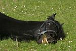 Friese / frisian horse