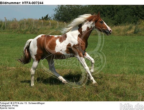Pinto Hengst / pinto stallion / HTFA-007244