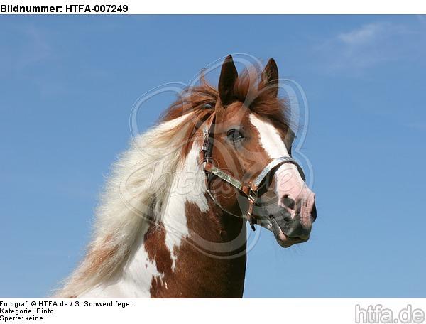 Pinto Hengst / pinto stallion / HTFA-007249
