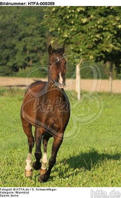 galoppierendes Warmblut / galloping warmblood / HTFA-009359